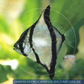 ... Mono Striped Mono African Finger fish :: Hippocampus Bildarchiv