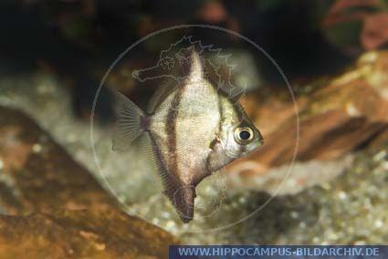 Mono Fish : ... Silberflossenblatt, African Mono; Striped Mono; African Finger fish