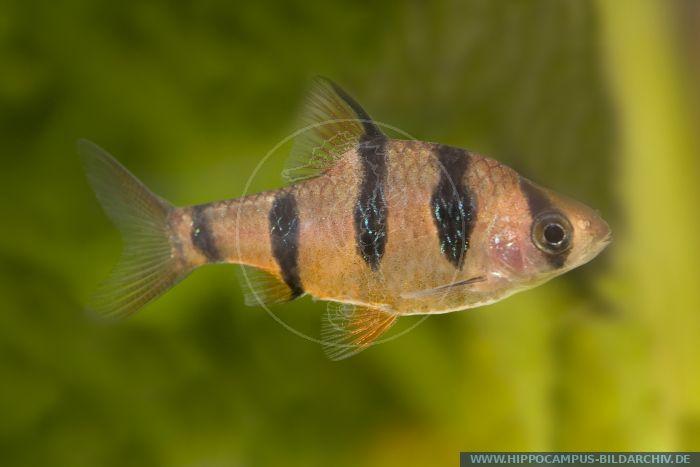 Puntius (Barbus) pentazona, Fuenfguertelbarbe, Five banded Barb ...