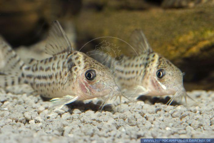 Corydoras punctatus alias Spotted Corydoras :: Hippocampus Bildarchiv