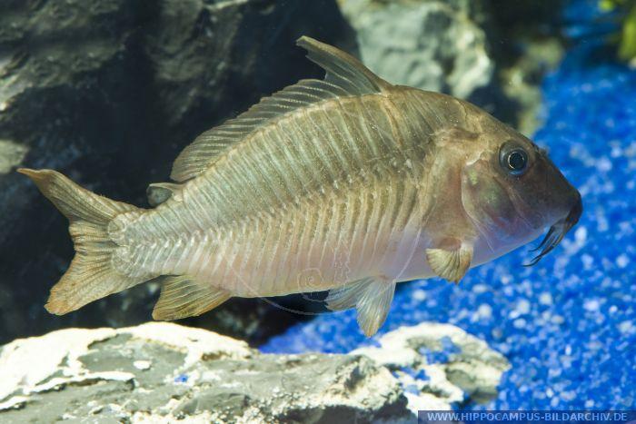 Brochis multiradiatus,Brochis-Panzerwels,Hognosed catfish