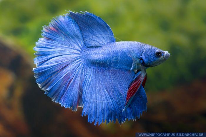 Betta splendens halfmoon blau alias siamese fighter for Siamesischer kampffisch