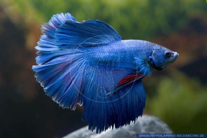 Betta splendens halfmoon blau alias siamese fighter for Kampffisch betta splendens