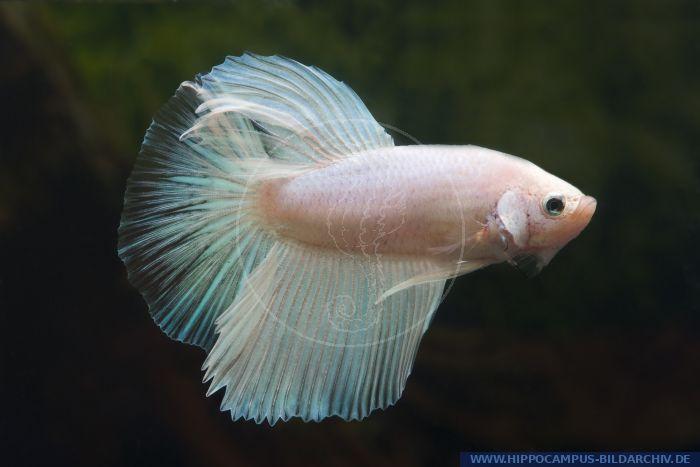 Betta splendens halfmoon opal alias siamese fighter for Kampffisch betta