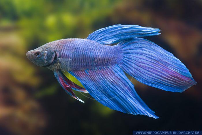Betta splendens longtail blau alias siamese fighter for Siamesischer kampffisch