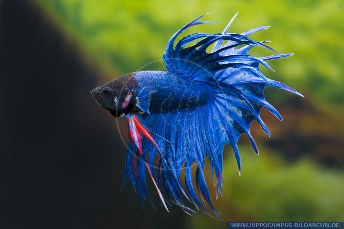 Betta splendens crown tail blau alias siamese fighter for Kampffisch betta