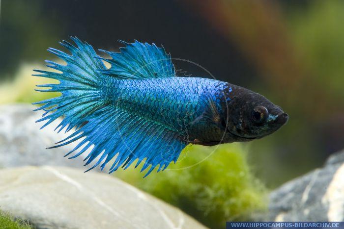 Betta splendens crown tail blau alias siamese fighter for Kampffisch betta splendens