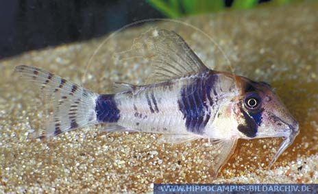 Corydoras reynoldsi sp. aff. LONGNOSE alias Corydoras catfish ...