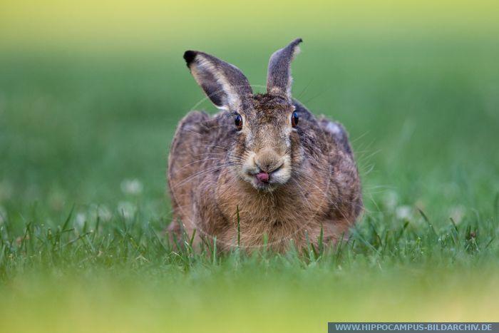 Lepus europaeus alias European hare :: Hippocampus Bildarchiv