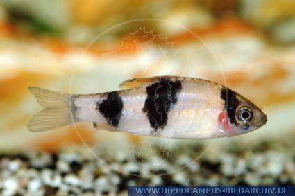 ... (Puntius) alias Glowcoal Barb Melon barb :: Hippocampus Bildarchiv