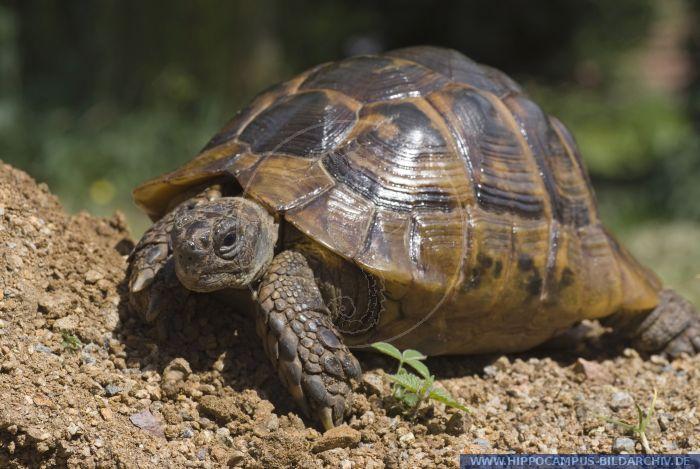 ibera greek tortoise - photo #1